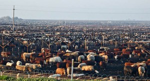 04602_cattle-feedlot-002