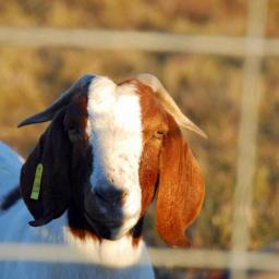 Aaron Needs A Goat–I Have A Stew To Cook, Sins To Confess, And Côtes du Rhône To Drink.  Let's Here It For Family Bovidae!!