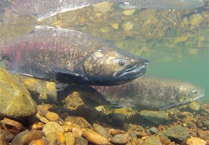 salmon-migration