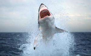 shark_1430236c