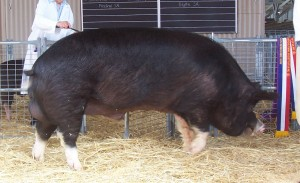 Adelaide_champion_Berkshire_boar_2005