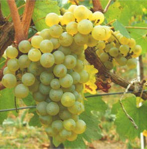 chardonnay_grapes