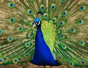 Peacock_15419121