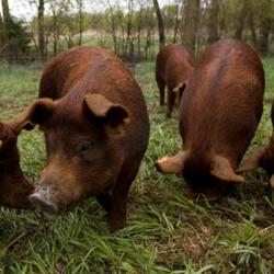 free-range-red-wattle-pigs