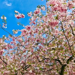 Cherry Blossoms At Kungsträdgården With Tulips, Blueberry Tarts, Cognac And Coffee And The Art Of Fugue.